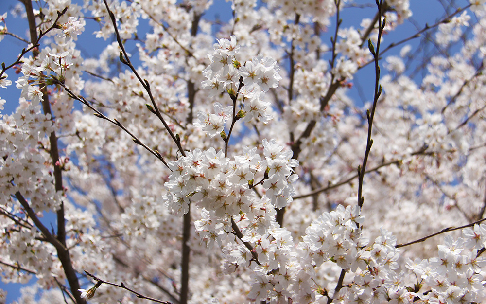 成竹窯でお花見会