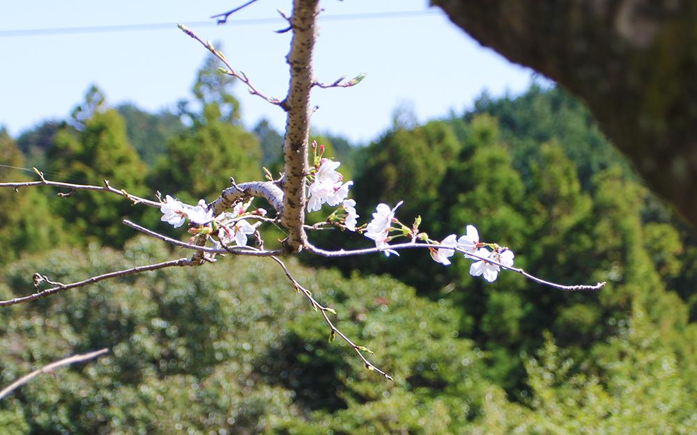 桜が咲きはじめ、窯出しが無事終わりました。